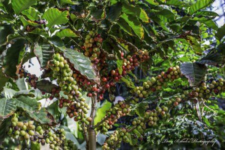 planta-de-cafe